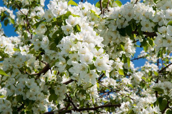 Dolgo Flowering Crabapple Seedlings
