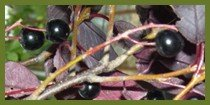 Where can I buy Choke cherry Tree seedlings online
