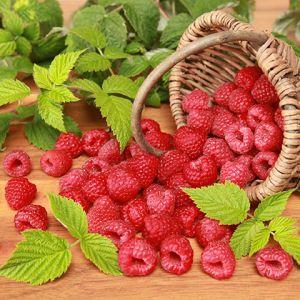 Boyne raspberry seedlings for sale online