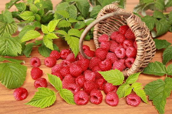 Boyne raspberry seedlings for sale online