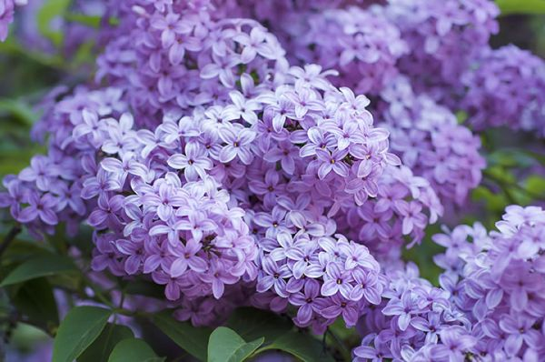 French Lilac trees seedlings for sale online