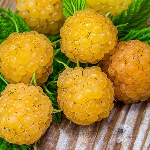 honey queen raspberry seedlings for sale online