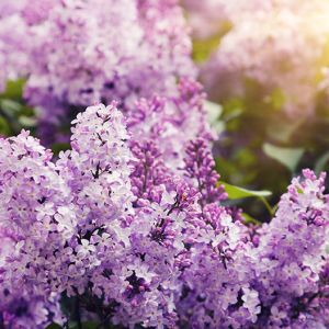 Lilac tree seedlings for sale online