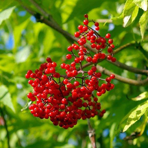 Red Elder Tree seedlings for sale online