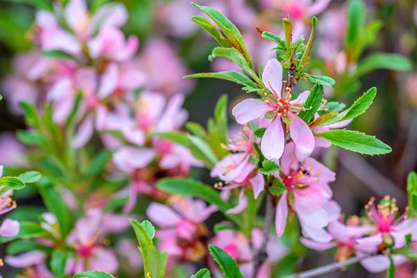 Russian Almond tree seedlings for sale online