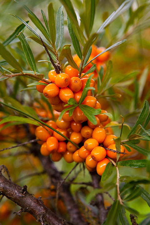 seedlings for sale online Sea buckthorn