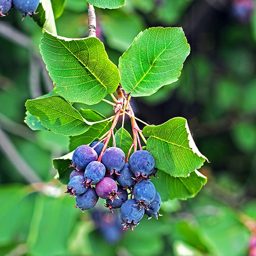 Thiessen blue berry seedlings for sale online