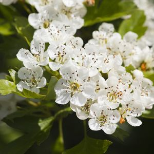 Arnold hawthorn seedlings for sale online