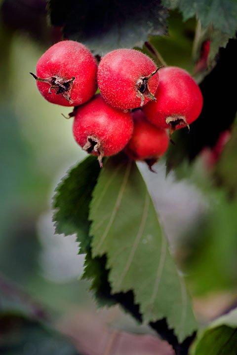 Arnold hawthorn bush seedlings for sale online