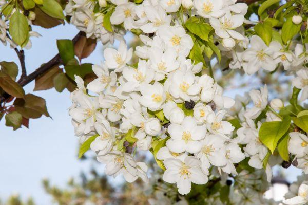 Columbia Flowering Crabapple Seedlings