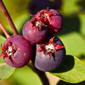 Honeywood berries seedlings for sale online