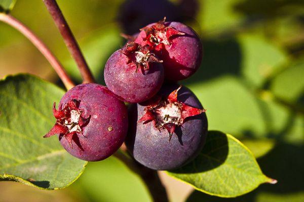 Honeywood berries seedlings for sale online