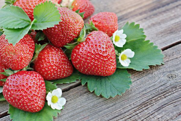 Kent Strawberries seedlings for sale online