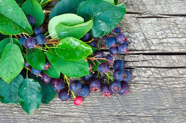 Martin Saskatoon Berries seedlings for sale online