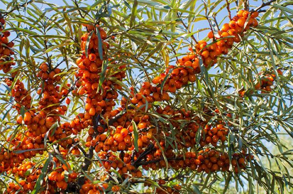 sea buckthorn tree seedlings for sale online