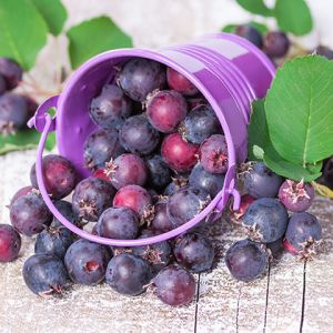 smoky Saskatoon berry seedlings for sale online