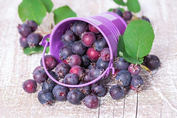 smoky Saskatoon berry seedlings for sale online