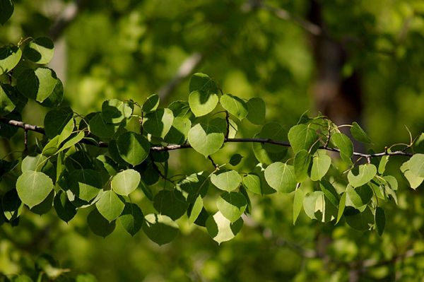 Aspen Tree Seedlings buy online Trembling