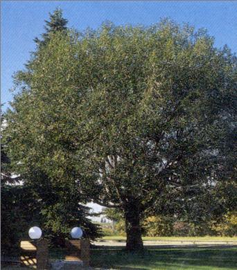 Willow Laurel Leaf Tree Seedlings buy online