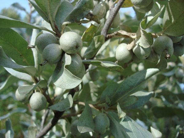 buy Wolf willow Tree Seedlings online