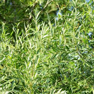 Acute Willow Tree Seedlings buy online