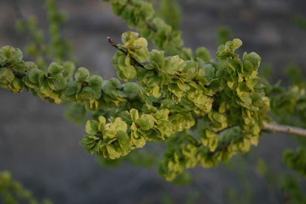 buy American elm tree Seedlings online