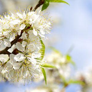 buy plum tree Seedlings online