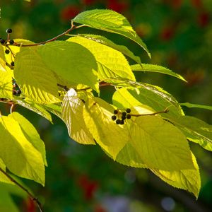 Where can I buy Cherry Tree Seedlings online