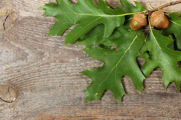 buy Burr Oak Seedlings online