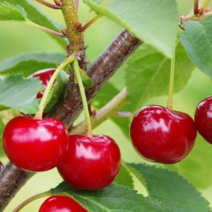 Carmine Jewel Cherry Tree Seedlings buy online
