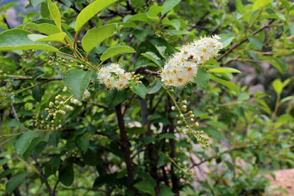 Choke Cherry Tree Seedling Order online