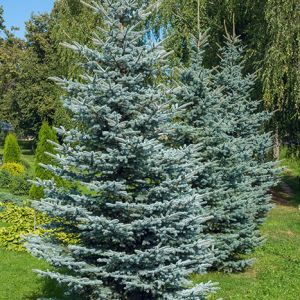 seedlings for sale online Colorado Spruce tree