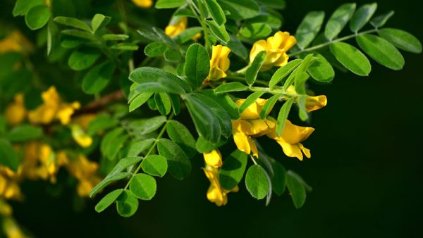 common caragana trees for sale online