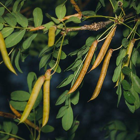 buy Caragana tree Seedlings online