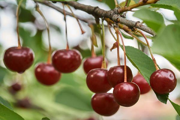 Cupid Cherry Tree Seedlings buy online