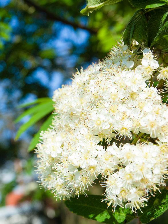 European Ash Trees Seedlings buy online