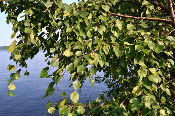 Seedlings buy online Birch trees