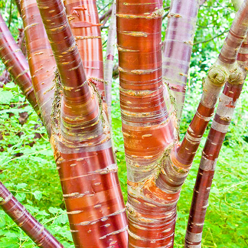 Birch Fountain Tree Seedlings buy online