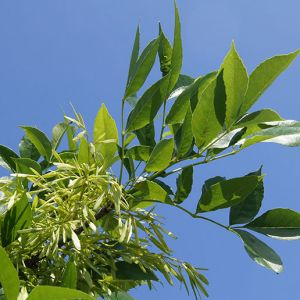 buy Green Ash Tree Seedlings online