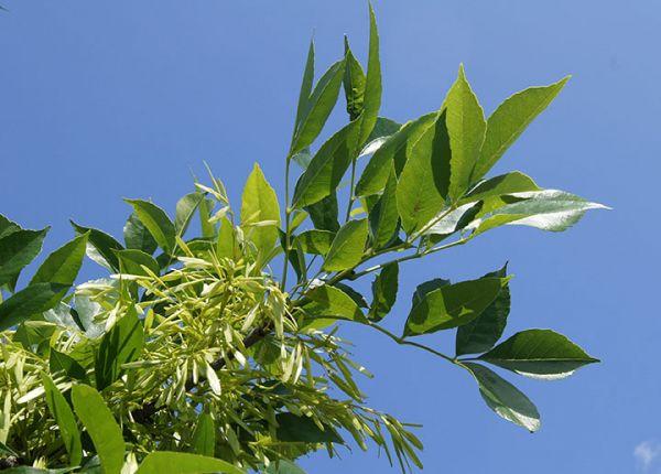 buy Green Ash Tree Seedlings online