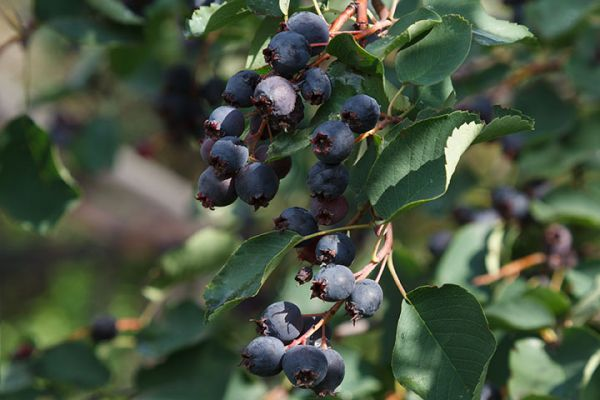 Buy berry tree seedlings online