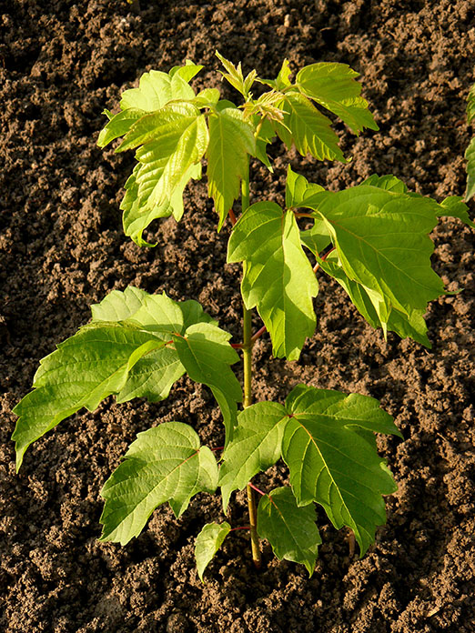 Manitoba maple Trees Seedlings buy online