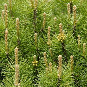 buy Mugo Pine Seedlings online