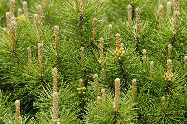 buy Mugo Pine Seedlings online