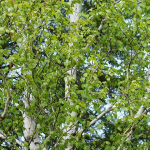 Tree Seedlings buy online Birch