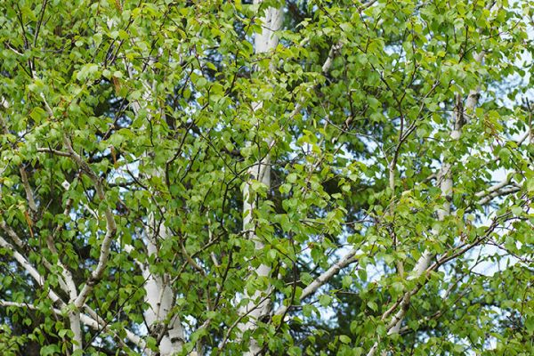 Tree Seedlings buy online Birch