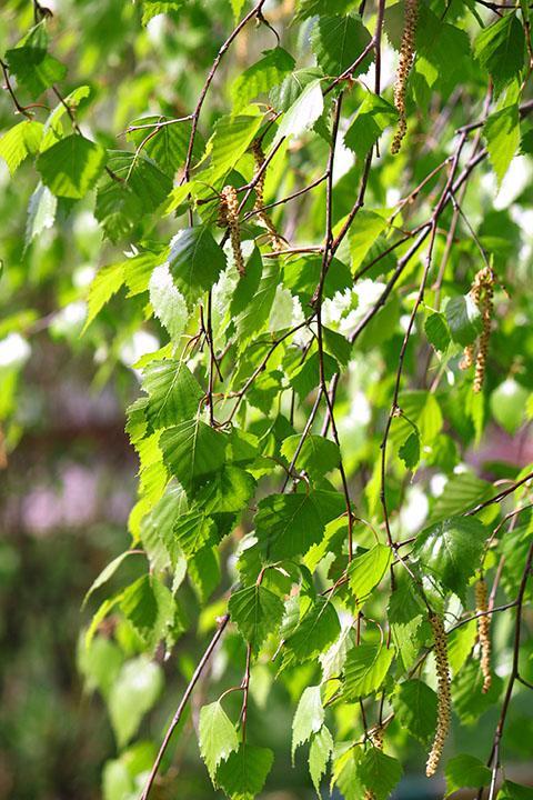 Birch Paper Tree Seedlings buy online