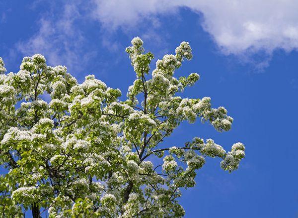 Pear tree Seedlings online