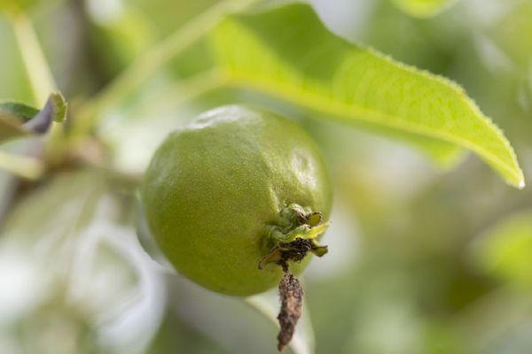 buy pear trees Seedlings online