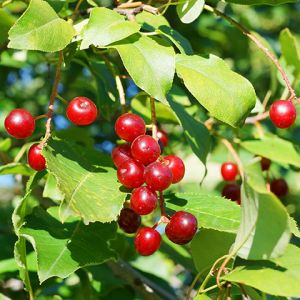 Pin Cherry Tree Seedlings buy online